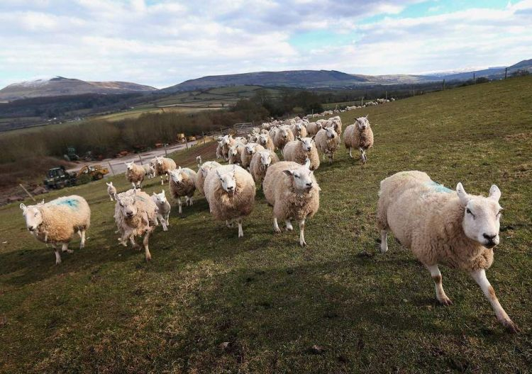 sheep-wales-getty.thumb.jpg.e7f0e6a26703e0e24875d1cd51bace71.jpg